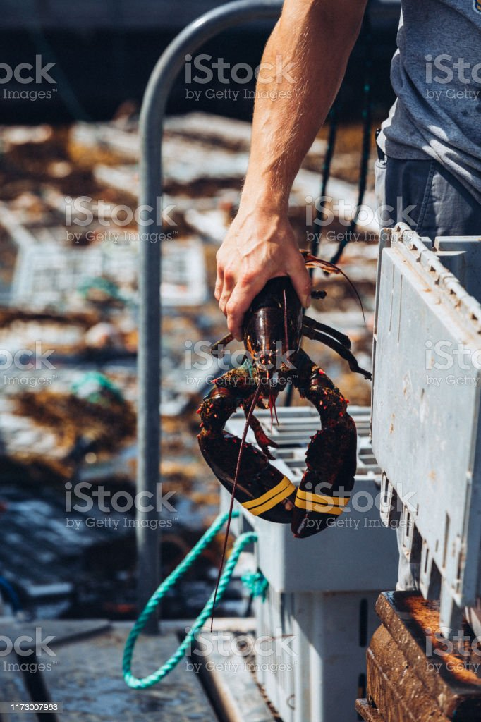 Fisherman Unloading Freshly Caught Lobsters - Royalty-free Fishing Industry Stock Photo