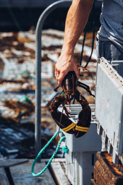 Fisherman Unloading Freshly Caught Lobsters stock photo