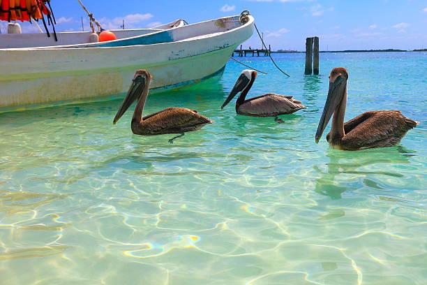 рыбаки лодке цепочке, пеликаны морских птиц-карибский тропический пляж - пеликан стоковые фото и изображения