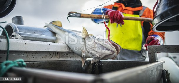 932662672istockphoto Fishermen fishing skrei cod in the arctic sea 1147301443
