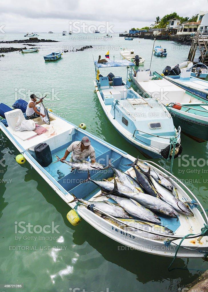 Fishermen Unloading Tunafish at Puerto Ayora Fish Market stock photo
