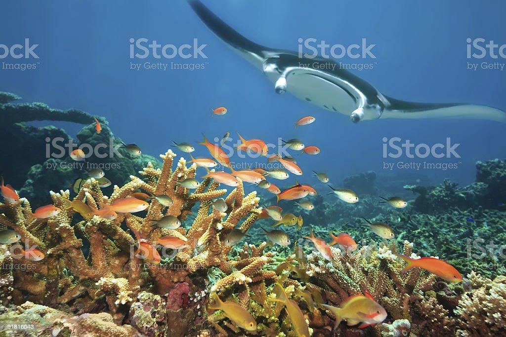 Fishes and manta ray. royalty-free stock photo