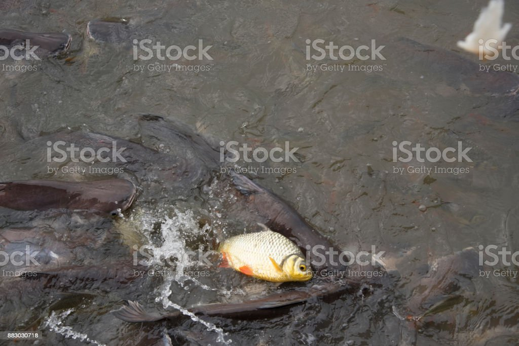 fishes crowd In the pond stock photo