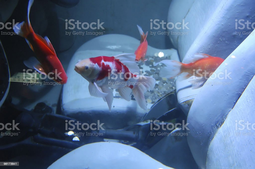 Fishes in a car royalty-free stock photo