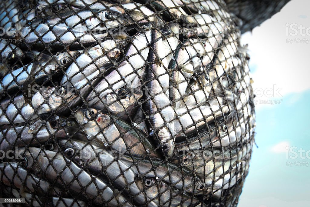 fishes in the net royalty-free stock photo