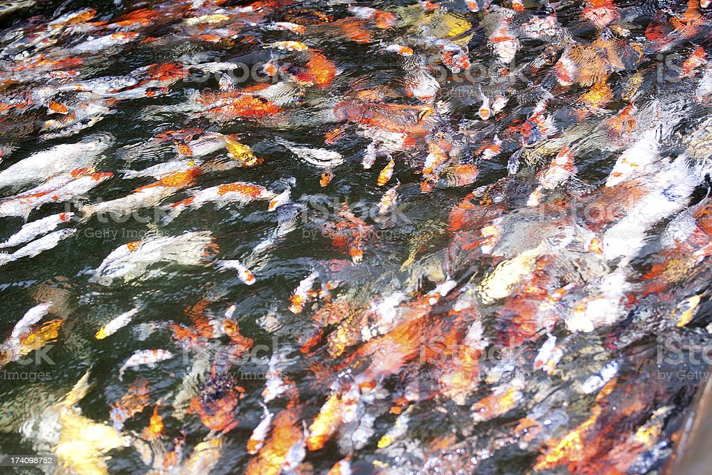 Fishes in water royalty-free stock photo