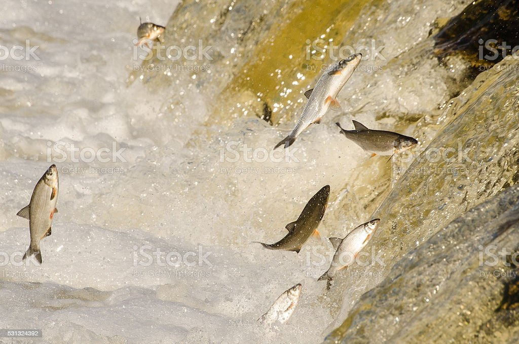 Fishes Jumping Up the Falls stock photo