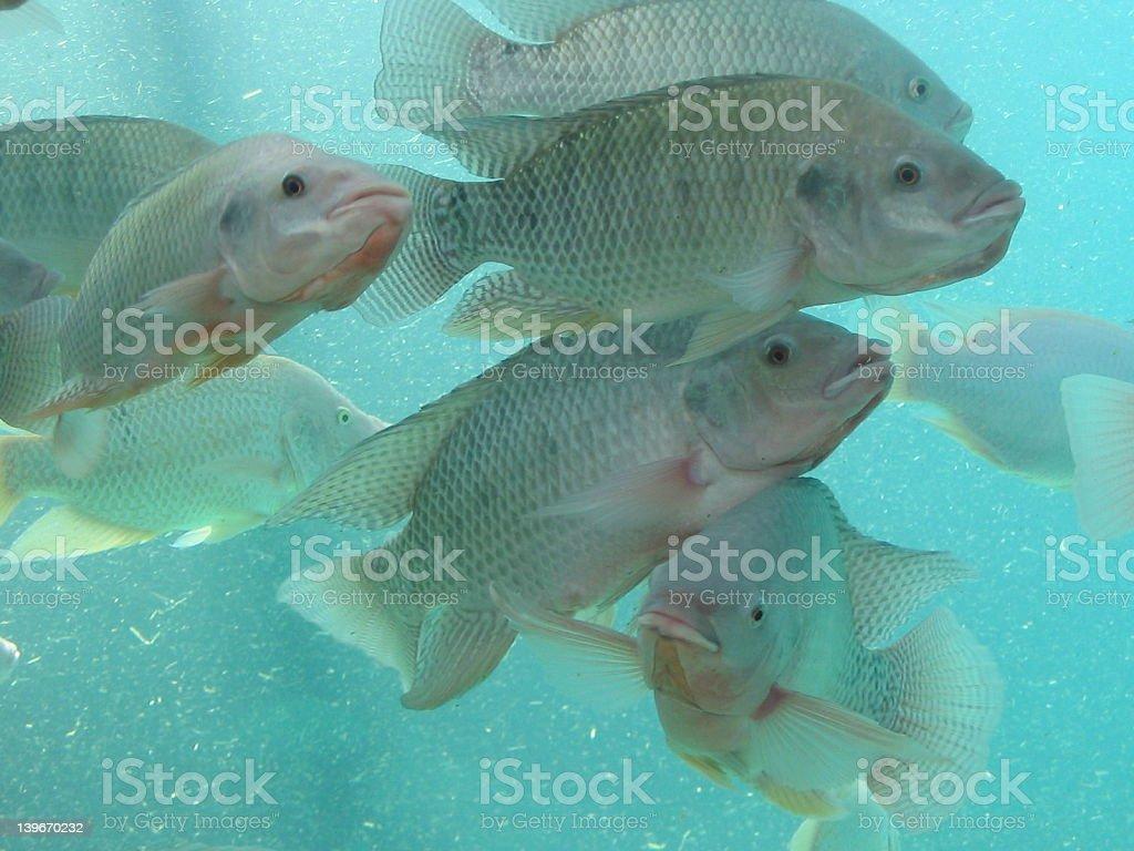 Fishes - Nile Tilapia royalty-free stock photo