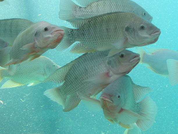 fishes - nile tilapia - aquaculture stock pictures, royalty-free photos & images
