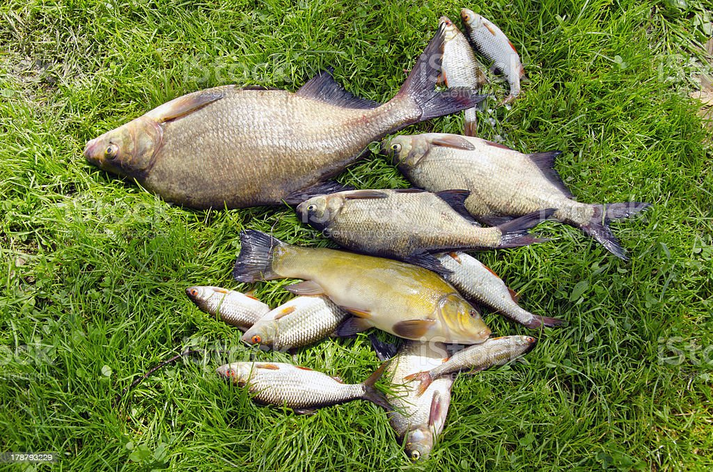 fishes on summer grass after fishing royalty-free stock photo