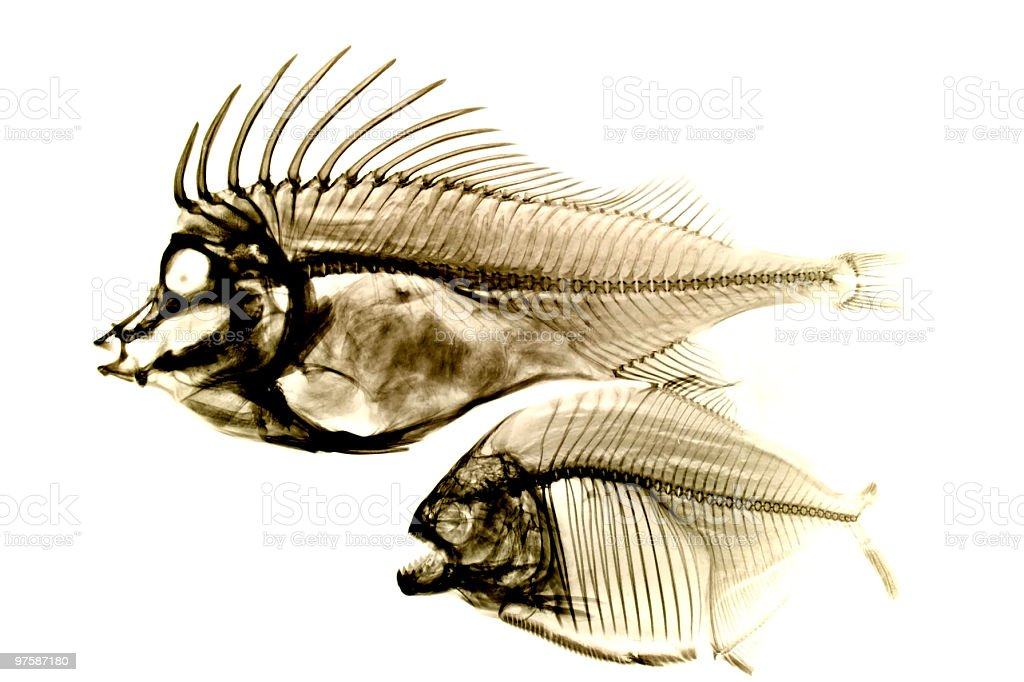 Fishes x-ray on white royalty-free stock photo