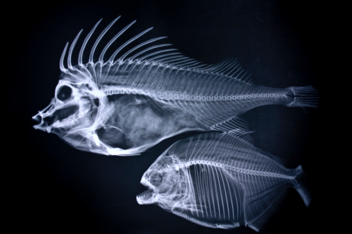 exotic x-ray image of fishes.