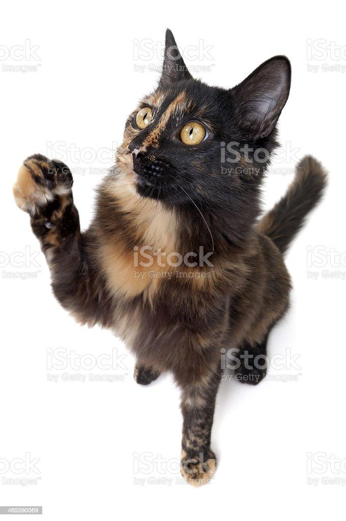 Fisheye Cat royalty-free stock photo