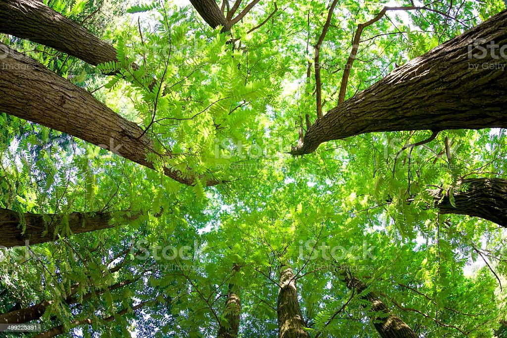 Fish-eye view of Trees in a Forest in Summer stock photo