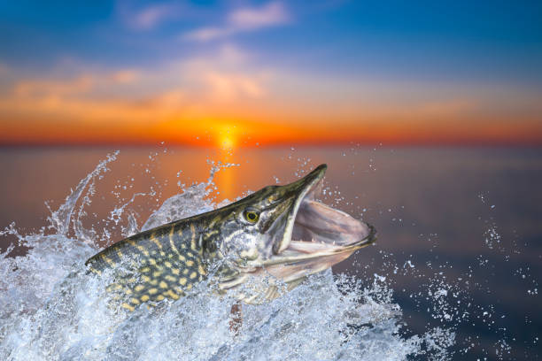Fishing. Big pike fish jumping with splashing in water Fishing. Big pike fish jumping with splashing in water pike fish stock pictures, royalty-free photos & images