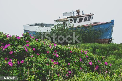Wild roses grow in front of a grounded fishing boat on an overcast day.