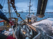 istock Fishing boats out for skrei cod in the arctic sea 1147301791