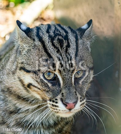 A fishing cat at an enclosure in the Cat Survival Trust property at Welwyn Garden City.