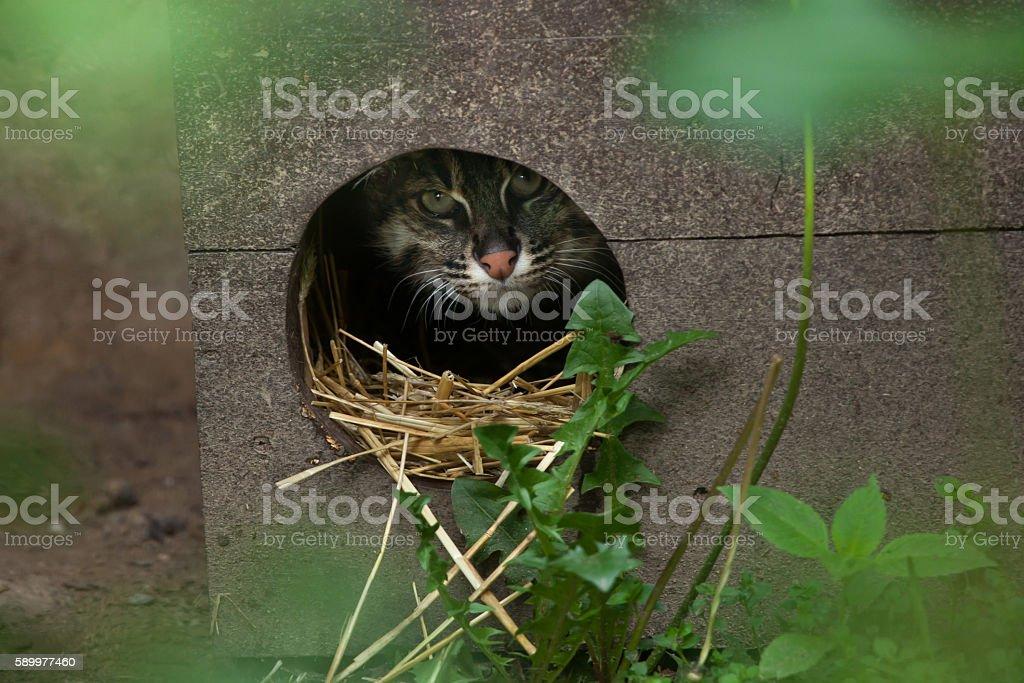 Fishing cat (Prionailurus viverrinus). stock photo