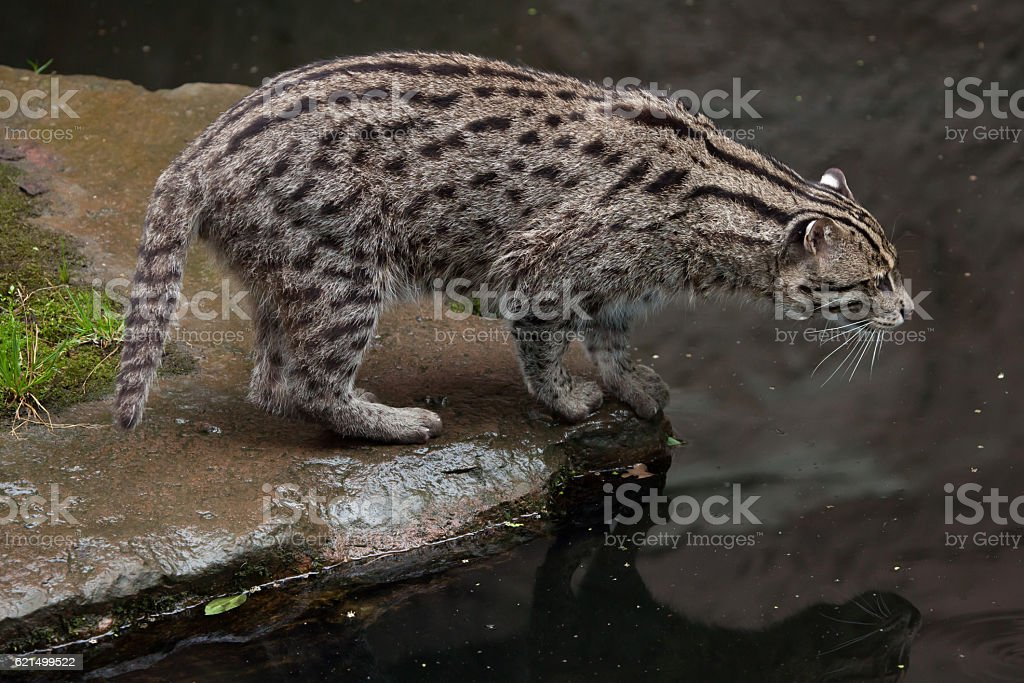 Pesca gatto (Prionailurus viverrinus). foto stock royalty-free