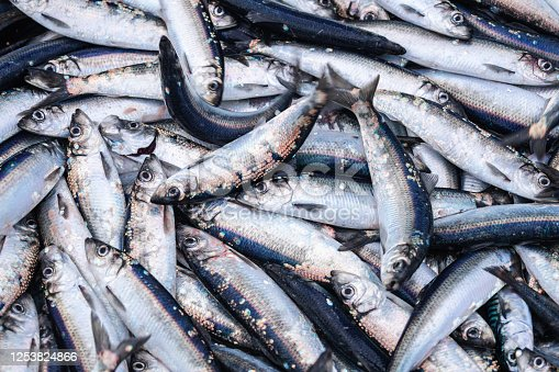 Fishing industry: huge catch of herring fish on the boat out in North Sea
