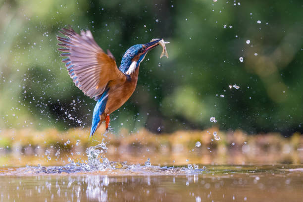 Fishing Kingfisher Kingfisher emerging with a fish kingfisher stock pictures, royalty-free photos & images
