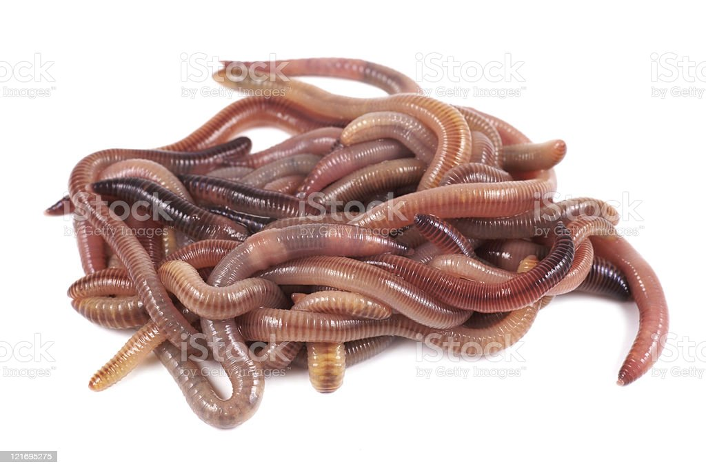 Fishing, live bait, red worm Dendrobena stock photo