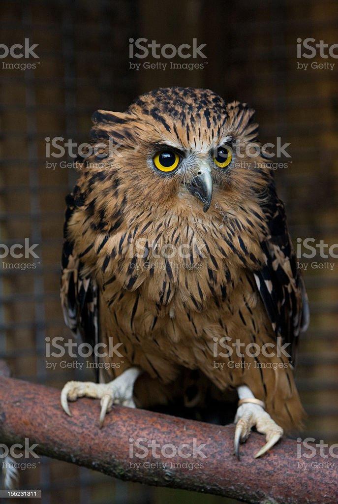 Fishing Owl royalty-free stock photo