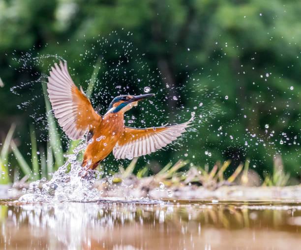 la pêche. - martin pêcheur photos et images de collection