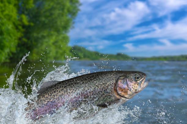 Angeln. Regenbogenforelle Fisch springen mit Planschen im Wasser – Foto