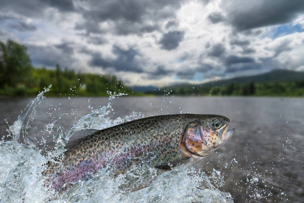Fishing. Rainbow trout fish jumping with splashing in water Fishing. Rainbow trout fish jumping with splashing in water salmonidae stock pictures, royalty-free photos & images