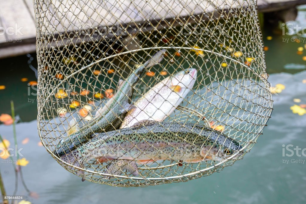 Fishing, raw freshwater fish, rainbow trout, in the net for the catch. stock photo