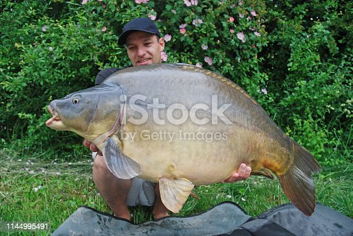 1145410808istockphoto Fishing scene, catch of fish, large mirror carp 1144995491