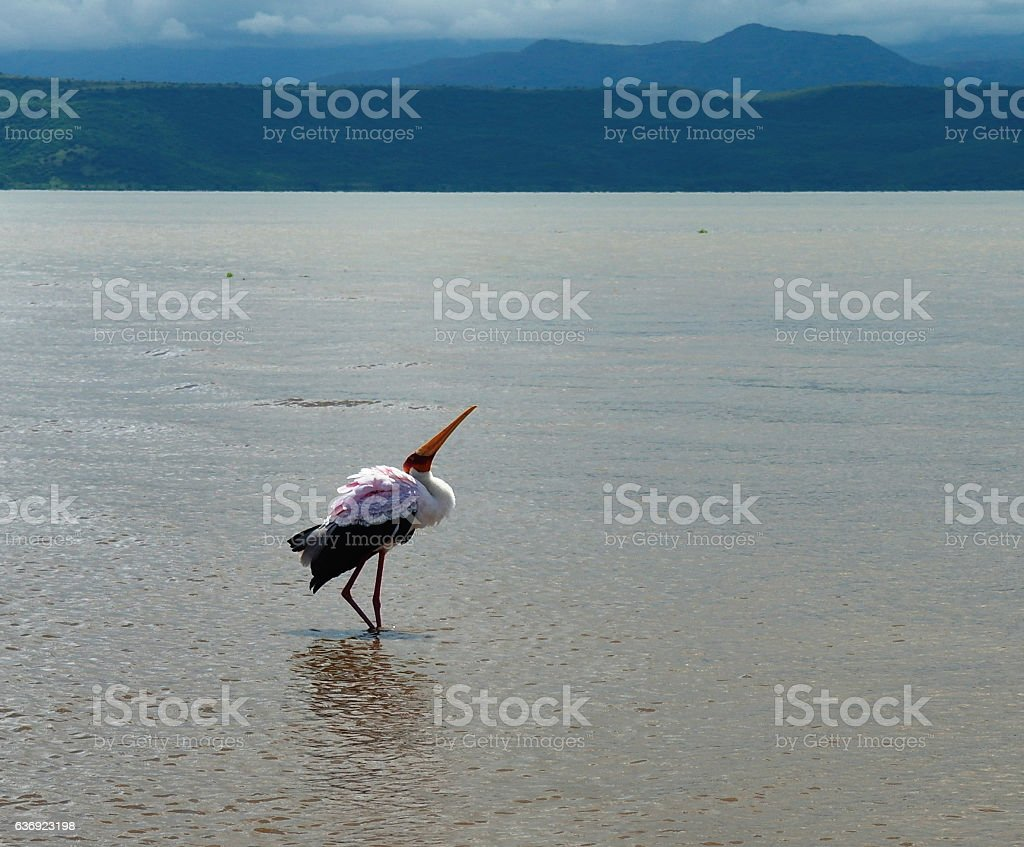 Fishing white stork in Nechisar National Park Ethiopia stock photo