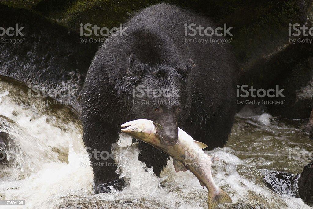 FishingBear stock photo