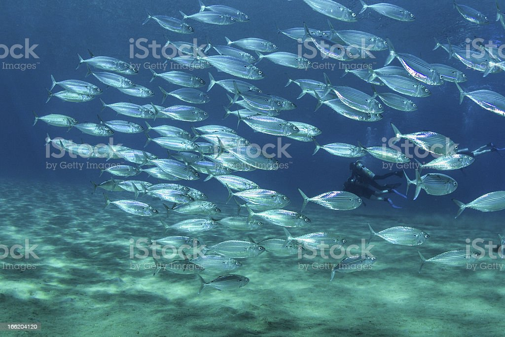 Fishschool and Scuba Divers stock photo