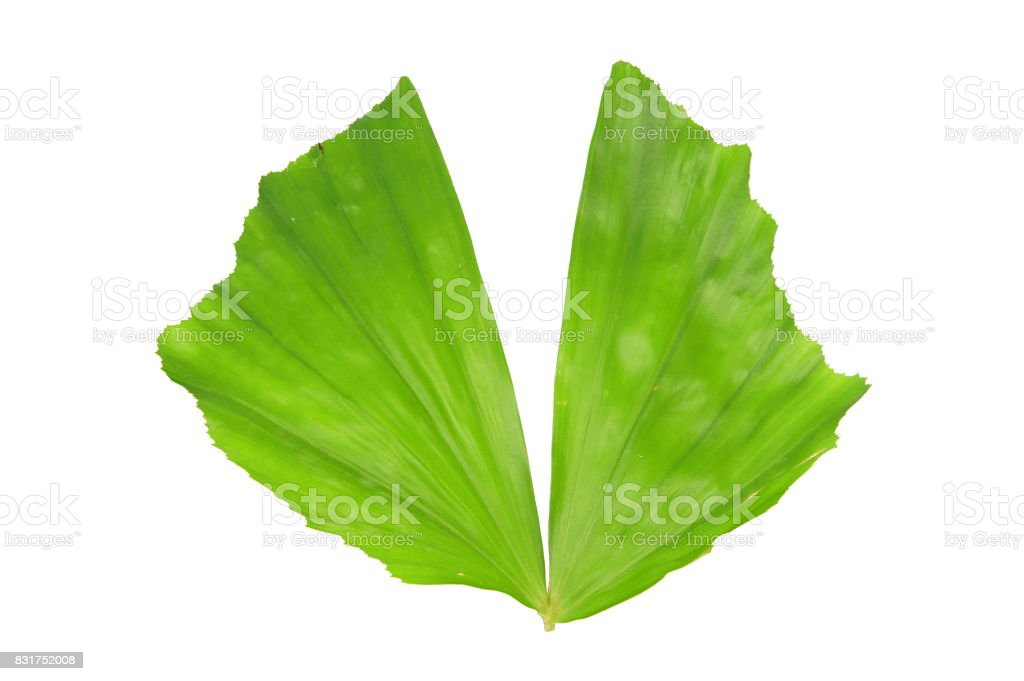 Fishtail palm leaf stock photo