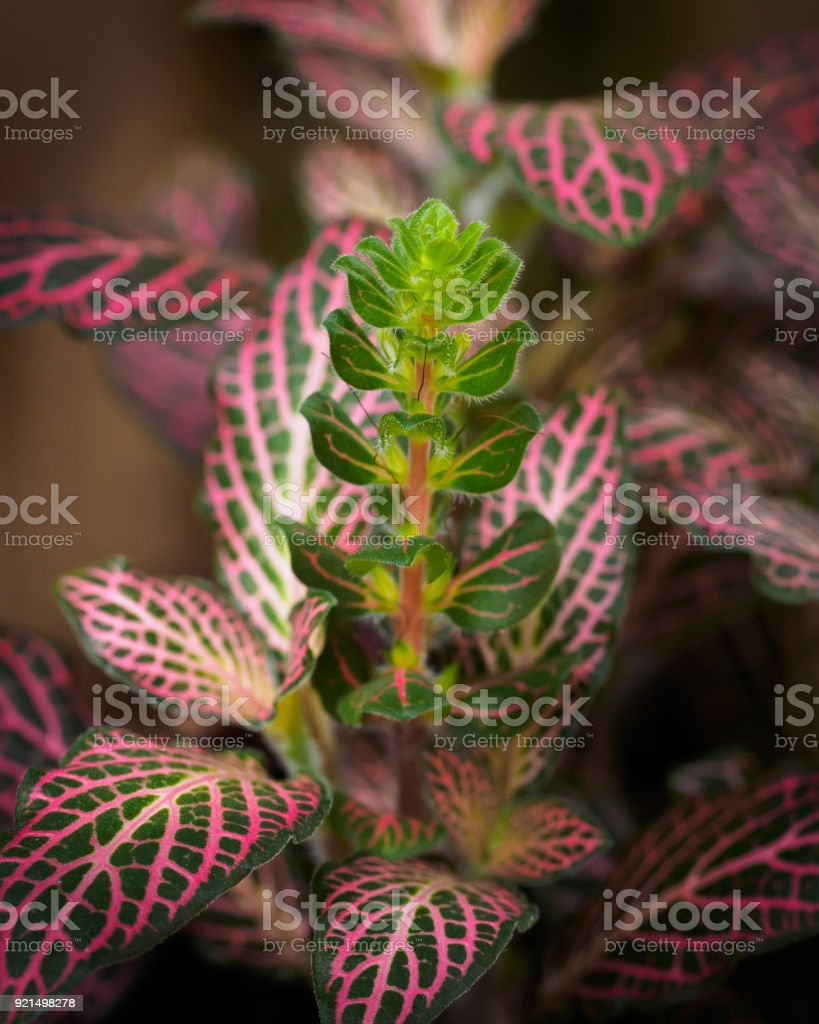 Fittonia sp. stock photo