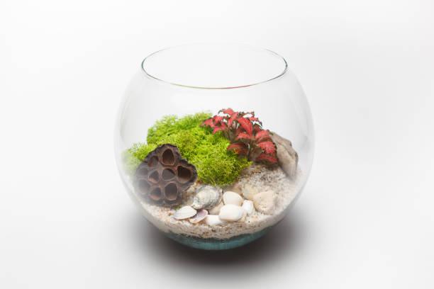 fittonia terrarium in einer runde glasvase, isoliert - indoor feen gärten stock-fotos und bilder