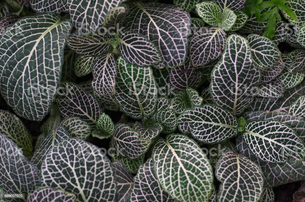 Fittonia tropical deja - foto de stock