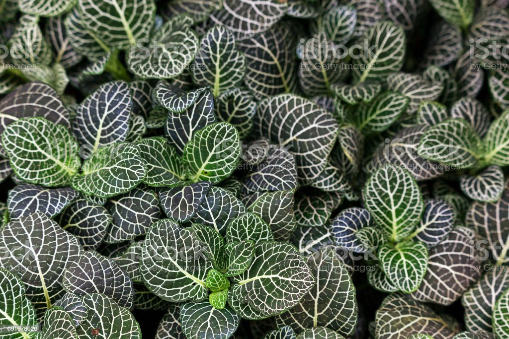 Fittonia Varigated Plant stock photo