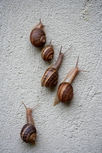 Five 5 Snails on a Stucco Wall stock photo