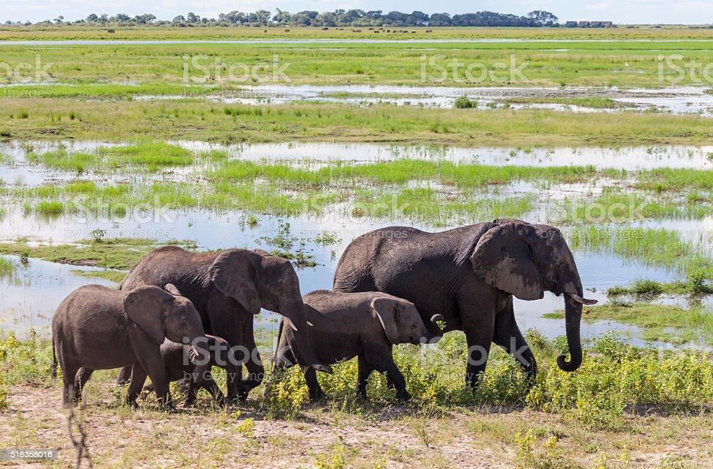 Five African Elephats; Chobe National Park, Botwsana, Africa stock photo