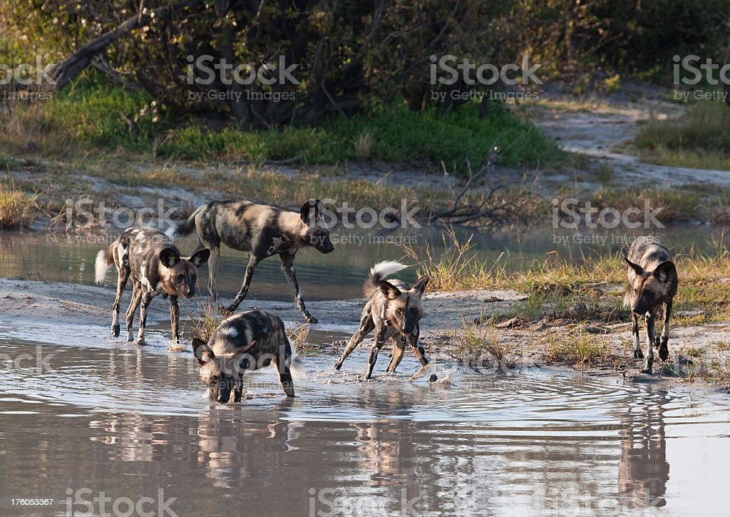Five African Wild Dogs (Lycaon pictus) stock photo