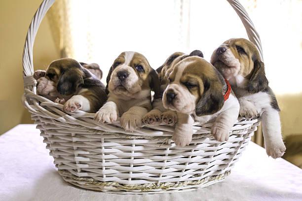 five beagle puppies in a basket. - katzen tatzen tattoos stock-fotos und bilder