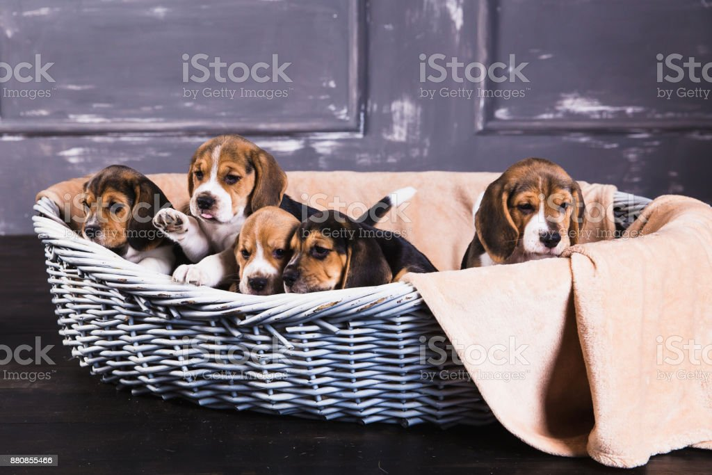 Five beagle puppies sit in basket stock photo