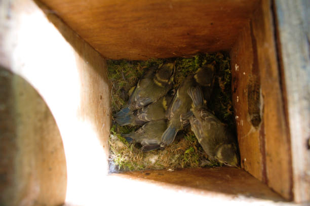 Five bluetit nestlings in a wooden nest box. stock photo