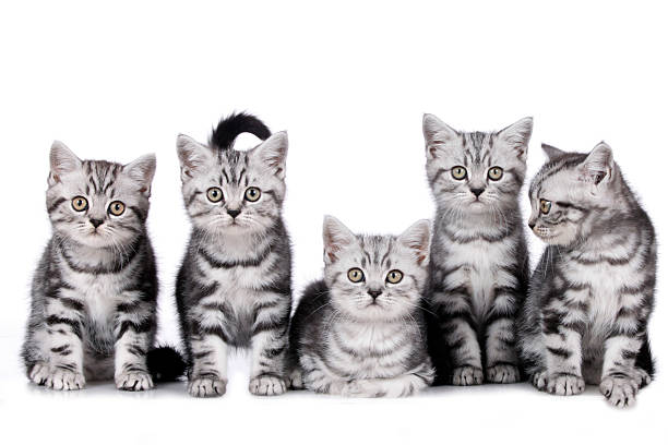 Five british shorthair kitten sitting in a row picture id477732558?b=1&k=6&m=477732558&s=612x612&w=0&h=2vgobwux3xtsfy6pedebax3 2u2ppmtpfy4vnluharu=