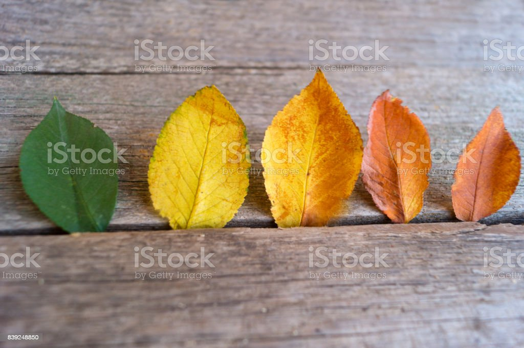 Five colorful autumn leaves  on the wooden background stock photo