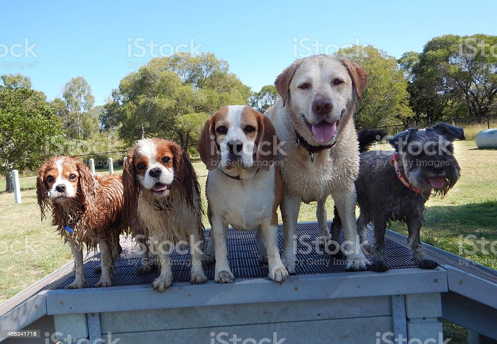 Five cute dogs lined up in a row stock photo